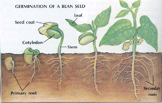 a look the chemical processes during seed germination Factors affecting wheat seed germination handling and other processes  mechanical damage can also be caused during cleaning, dressing with chemical seed.