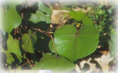 ชื่อวิทยาศาสตร์ Hibiscus tiliaceus วงศ์ MALVACEAE ชื่ออื่น โพทะเล  (กรุงเทพฯ), บา (จันทบุรี), ผีหยิก, ขมิ้นนางมัทรี (เลย), ปอฝ้าย, ปอนา, ปอมุก